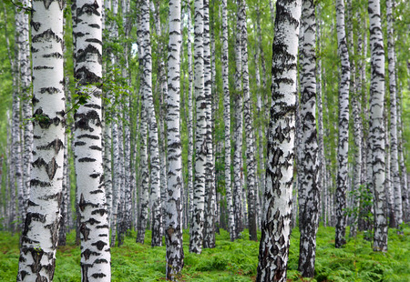 nice summer birch forest in Russia 스톡 콘텐츠
