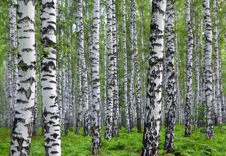 nice summer birch forest in Russia Foto de archivo