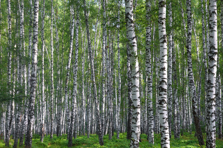 birch forest: nice summer birch forest in Russia Stock Photo