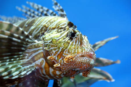 lionfish zebrafish underwater close-up photo
