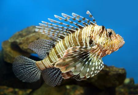 dragonfish: lionfish zebrafish underwater close-up