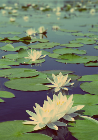 watergarden: summer lake with water-lily flowers on blue water - vintage retro style