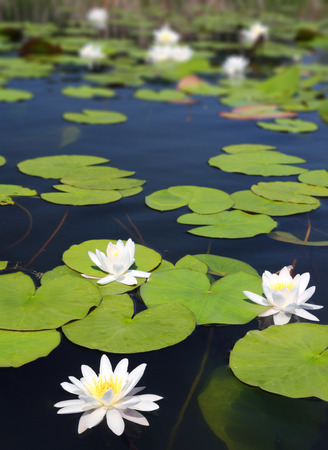 summer lake with water-lily flowers on dark water photo