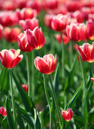 blooming red tulips with white border varieties of Leen van der Mark - shallow depth of field  photo
