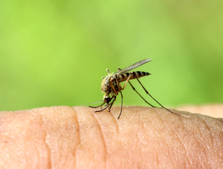 mosquito drinks blood out of man - macro shot