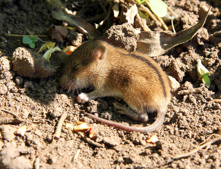newborn rat: wild little mouse sleeping in the field  Stock Photo