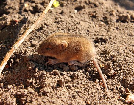 newborn rat: little mouse in the field