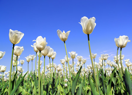 field of white tulips blooming under blue sky  photo
