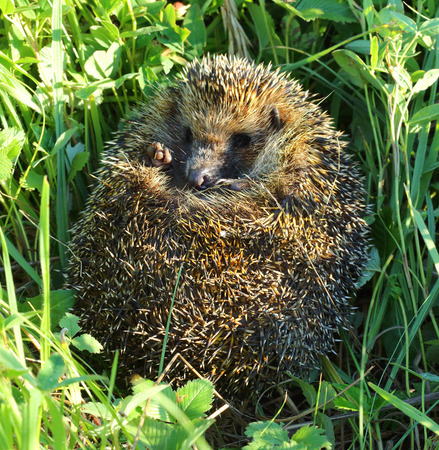 hedgehog on back curled in the grass  photo