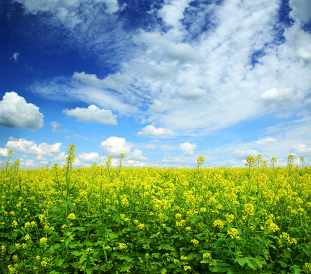 beautiful flowering rapeseed field under blue sky with clouds photo