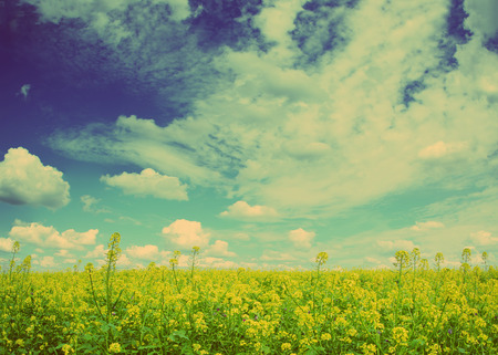 beautiful flowering rapeseed field under blue sky with clouds - vintage retro style photo