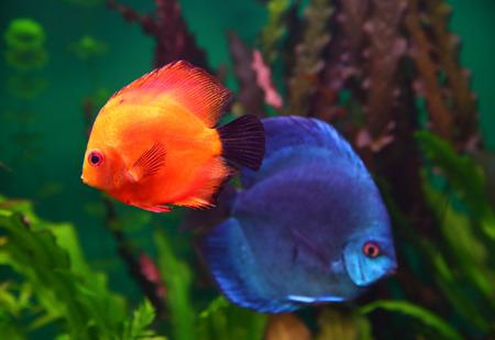 symphysodon: red and blue discus fish in aquarium