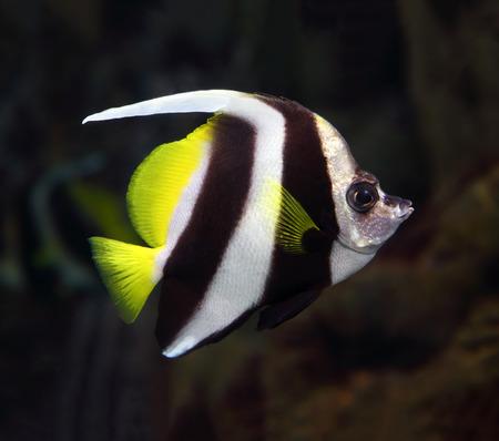 bannerfish: beautiful pennant coralfish swim underwater