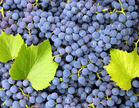 freshness: maduro uvas azules frescura fondo Foto de archivo