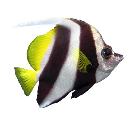 bannerfish: beautiful pennant coralfish isolated on white Stock Photo