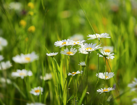 daisies on a meadow - shot with shallow depth of field photo