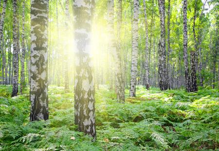 summer birch woods with sun shining photo