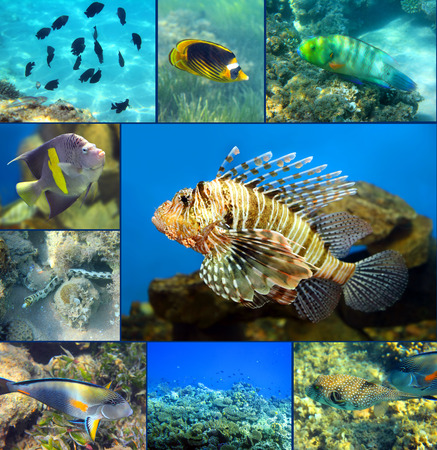 zebrafish: Red Sea underwater coral fish set Stock Photo