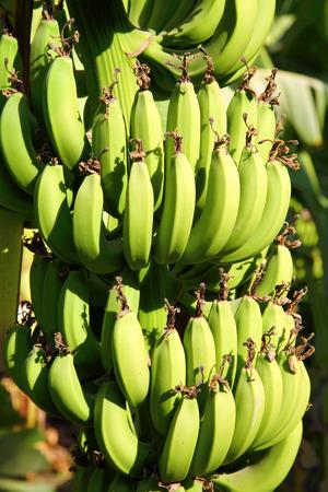 Banana plantation in sun - egypt photo