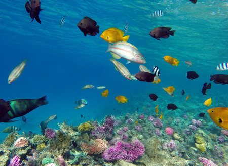 bannerfish: Coral and fish in the Red Sea - Egypt Stock Photo