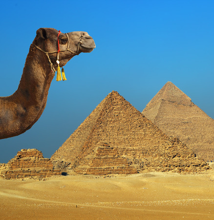 giza: Camel in front of pyramid at Giza Cairo in Egypt