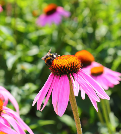 bombus: bumblebee collect nectar from the flowers of Echinacea purpurea