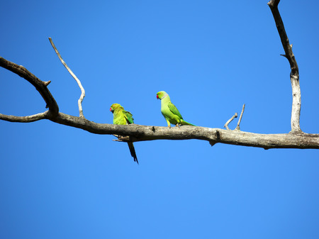 two parrots: pair of green parrots sitting on tree branch
