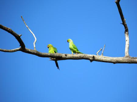 loros verdes: par de loros verdes sentado en la rama de �rbol