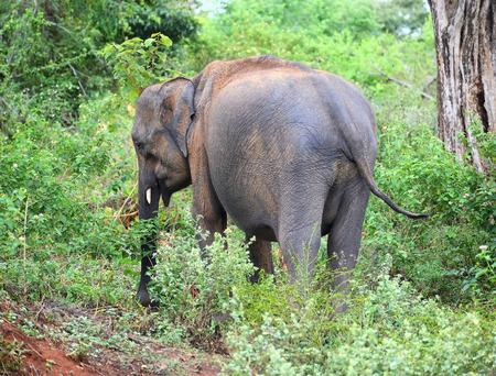 big ass: indian elephant eating grass in jungle