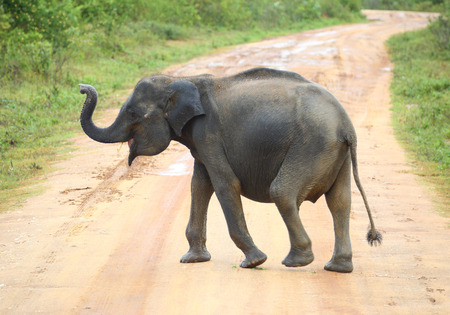 young elephant crossing road in Sri Lanka Stock Photo