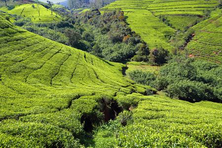 mountain tea plantation in Sri Lanka photo