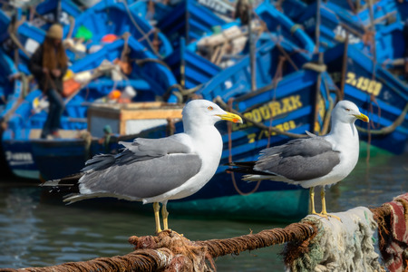 Blue fishing boats in the port of Essaouira and seagulls in the foreground, Morocco Stock Photo