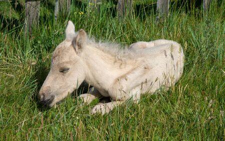 Sleeping newborn foal lying in grass