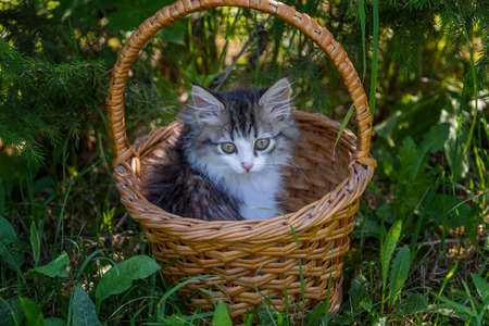Siberian longhaired kitten portrait in the basket. Forest green branches and leaves.