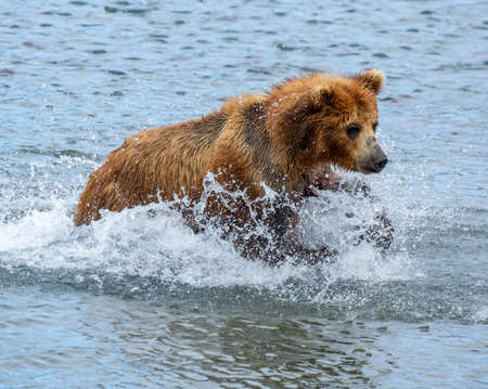 Brown bear hunts for salmon, jumps in the water, Kamchatka, Russia