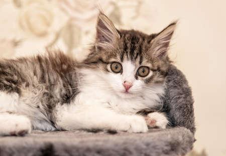 Siberian longhaired kitten is lying on bed portrait Reklamní fotografie