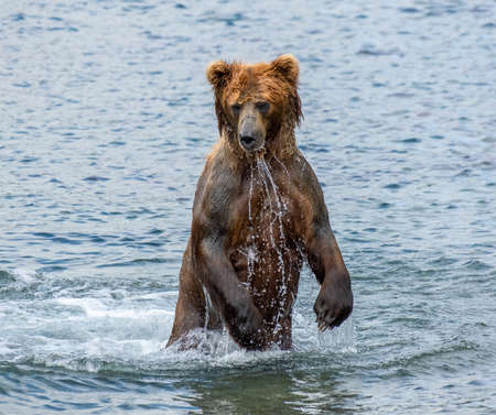 Brown bear hunts for salmon, standing in the water, Kamchatka, Russia Reklamní fotografie