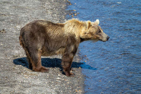 Brown bear looking for fish in the river on Kamchatka Reklamní fotografie
