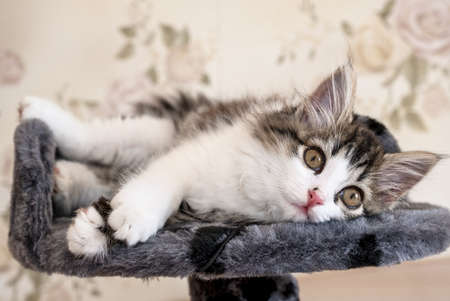 Siberian longhaired kitten is lying on bed and looking at camera