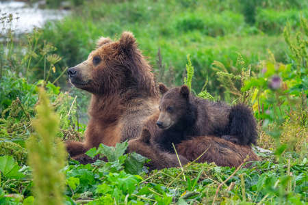A female brown bear and her cubs lie in the grass, Kamchatka, Russia Reklamní fotografie