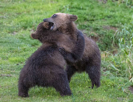 Two brown bear cubs playing