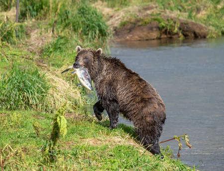 Fishing brown bear with salmon Reklamní fotografie