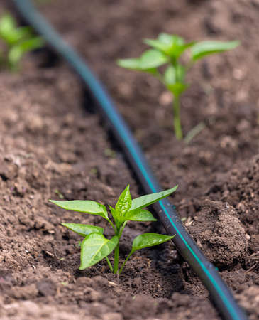 Pepper plants growing inside greenhouse with drip irrigation