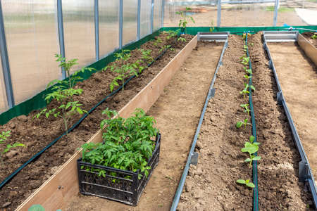 Rows of tomato and cucumber plants growing inside greenhouse with drip irrigation