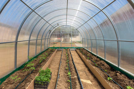 Rows of tomato cucumber and pepper plants growing inside greenhouse with drip irrigation