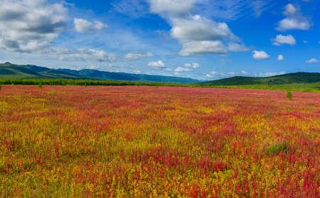 Blooming flowers Ivan tea or Willow-herb on Kamchatka peninsula Reklamní fotografie