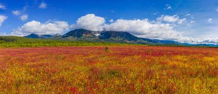 Blooming flowers Ivan tea or Willow-herb near Vachkazhets volcano on Kamchatka peninsula