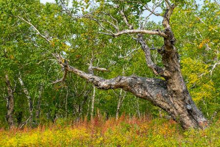 Kamchatka stone birch old tree Reklamní fotografie