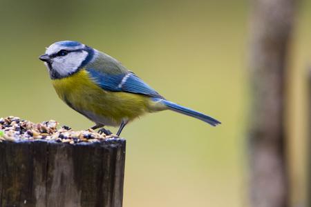 cyanistes: Tit bird. Herrerillo in spanish. Cyanistes caeruleus