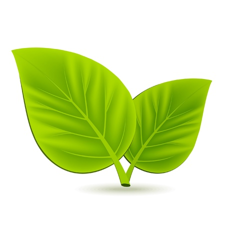 Two green leaves on white background